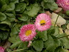 2017-11-09-12063 (vale 83) Tags: bellis nokia n8 friends autofocus colourartaward coloursplosion