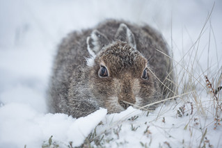 Young Mountain Hare