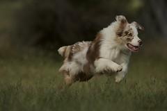Go Aussie go (Joe McAuliffe) Tags: australian shepherd dog puppy chase run red merle white animal field sprint paws green farm working herding obedience training canine chien hound photo photography nikon 400