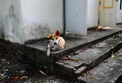 ,, Remember Little Freckles ? ,, (Jon in Thailand) Tags: mold jungle themonkeytemple dog k9 thaibangkaewdog decayingbuilding deepjungle nikon d300 nikkor 175528 concretesteps spotteddog dogears dogpaws nicedog abandonedbuilding cooldog littledoglaughedstories
