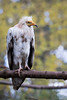 Egyptian vulture (Cloudtail the Snow Leopard) Tags: schmutzgeier tier animal vogel bird geier neophron percnopterus egyptian vulture white scavenger pharaoh chicken zoo mulhouse