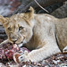 Young lioness eating meat
