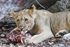 Young lioness eating meat (Tambako the Jaguar) Tags: lion big wild cat cub young female lioness portrait eating lying food meat bone stones cute holding basel zoo switzlerland nikon d5