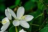 -snowy orchid - white kanchan (Krishna Rao D) Tags: snowy orchid white kanchan rain drops flower flora nature beautiful