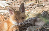 EUROPEAN RED FOX. (VULPES VULPES)-7825 (rawshorty) Tags: rawshorty animals canberra australia act campbell