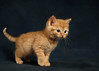 'Wade' (Jonathan Casey) Tags: rescue kitten cat ginger tabby norfolk catchums chums nikon d810 sigma art 50mm f14