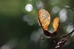 Pince Nez... ( les samares , fruits de l érable ) . (Callie-02) Tags: lumière hiver extérieur jardin couleurs feuilles nature profondeurdechamp macro canon bokeh