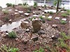 Swale with water and stones - Doreen Jones - edited (CA Native Plant Society) Tags: cnps california native plant society home garden front yard rain water capture watershed approach swale dry creek bed boulder stepping stone permeable fall ambassador southern landscape
