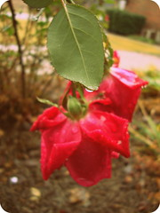 Roses. (dccradio) Tags: lumberton nc northcarolina robesoncounty outside outdoors nature natural flower floral flowers flowergarden flowerbed rose roses rosebush rosegarden rain rainy water waterdroplets droplets raindrops dropletsofwater decemberrose winterrose leaf leaves greenery sony cybershot dscw230