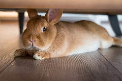 A new tenant under the sofa / Un nuevo inquilino debajo del sofá (toncheetah) Tags: rabbit bunny grumpyface lilly adoptdontshop