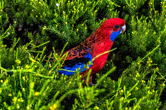 Rosella (Theresa Hall (teniche)) Tags: act anu australia australian australiannationaluniversity australianbush australiannative australianwildlife canberra nikkor2485 nikond750 rosella teniche theresa theresahall bird birdeating blue bush eating feedingtime food native nativebird red wild wildlife