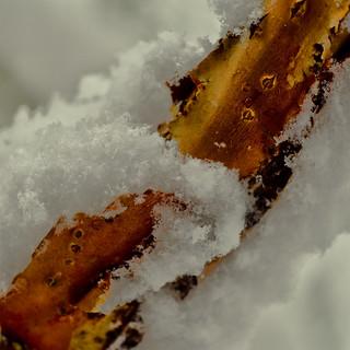 Samthortensie im Schnee