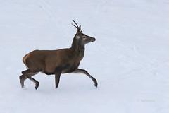 Jelen špicar (natalija2006) Tags: jelenjad jelen špicar reddeer stag wildlife nature narava zima winter slovenia