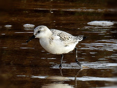 Sanderling (Diko G.W.) Tags: eastyorkshire fraisthorpe sanderling nikonp900 seaside wader coastal