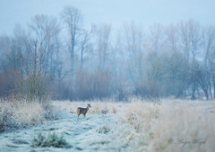 A Frosty Morning (Angie Vogel Nature Photography) Tags: frosty frost earlymorning nature doe deer columbiawhitetaildeer trees ridgefieldnationalwildliferefuge