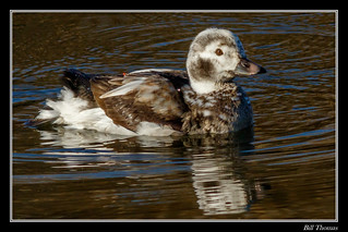Long-tailed Duck-3