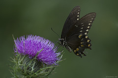 Butterfly 2017-175 (michaelramsdell1967) Tags: butterfly butterflies macro beauty animal animals beautiful green bokeh nature insect insects flower flowering meadow field wild wildlife wilderness vivid vibrant purple thistle upclose closeup bug bugs swallowtail detail zen