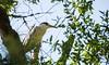 black crowned night heron (kbbrawley5) Tags: blackcrownednightheron heron bird kiawah southcarolina sc charleston atlantic eastcoast sigma d3200 nikon kurtbrawley usa unitedstatesofamerica