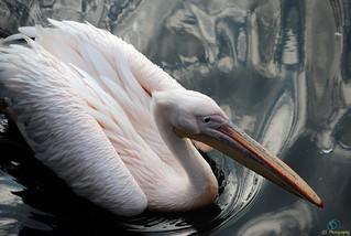 Pelican (69)