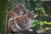 Lynx (Cloudtail the Snow Leopard) Tags: luchs lynx katze cat feline animal tier säugetier mammal beutegreifer predator pinselohr zoo mulhouse