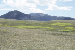 Weeds16.tif (NRCS Montana) Tags: weeds noxious leafyspurge