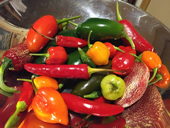 This year's chilli crop (Ruth and Dave) Tags: chilli pepper vegetable fruit spicy homegrown weighing scales crop harvest colourful bright