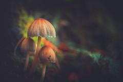 Mushroom (Dhina A) Tags: sony a7rii ilce7rm2 a7r2 minolta md zoom 3570mm f35 minoltamdzoom3570mmf35 1983 14 macro sharp bokeh constantf35 modified f28 mushroom