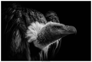 African White Backed Vulture - A Black And White Portrait