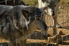 IMG_1245 (goaniwhere) Tags: wolf animal wolves wildanimal sanctuary