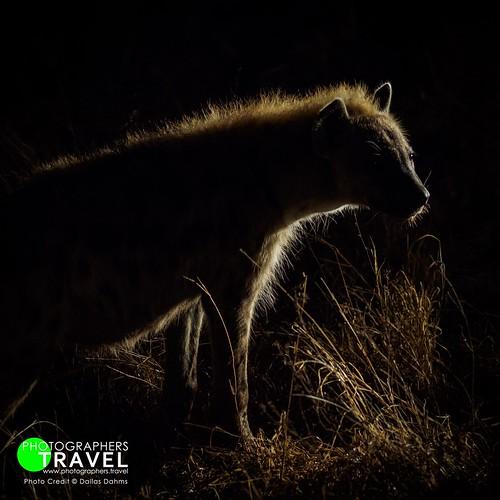 Hyena - Sabi Sabi 2014