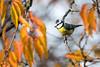 Automn leaves (Jacques GUILLE) Tags: labege automne mésangebleue oiseau 31 cyanistescaeruleus eurasianbluetit hautegaronne paridés passériformes bird