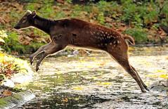 visayan spotted deer blijdorp BB2A1343 (j.a.kok) Tags: deer hert herbivore prinsalfredhert spotteddeer visayanspotteddeer animal asia azie mammal zoogdier dier blijdorp