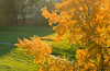 Nov 11: Burning Colours of Autumn (johan.pipet) Tags: flickr tree strom fall auzumn jeseň city park mesto town suburb koprivnica dubravka dúbravka bratislava sunny colors colours slovakia slovensko detail eu europe palo bartos bartoš canon