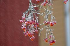 Hi winter! (RdeUppsala) Tags: uppland uppsala urban garden trädgård jardín benved sverige sweden suecia snö snow naturaleza nature natur nieve escarcha frost ricardofeinstein invierno winter vinter euonymuseuropaeus spindle bonetero