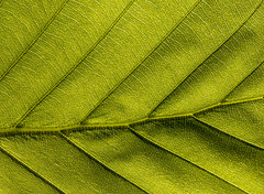 Green veiny Leaf (Tony Smith Photo's) Tags: abstract amazing backlit beauty biology botanical botany bright broadleafed closeup color colour design detail ecological ecology environmental fiber flora floral foliage forest fresh green growth healthy intricate leaf lush macro natural nature organic outdoors pattern patterned photosynthesis plant saturated spring surface texture textured tree underside vegetation veins veiny woods detailed smileonsaturday onesingleleaf lines