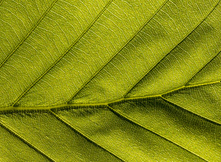 Green veiny Leaf