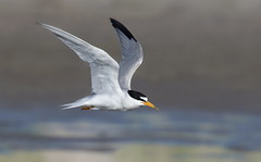 Least Tern Nickerson beach ny. (mandokid1) Tags: canon 1dx ef400mmdoii nickerson birds terns shorebirds