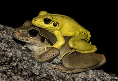 Stony Creek Frogs (Litoria wilcoxii) Male and Female mating Bald Rock Creek Girraween National Park Queensland Australia. (jasonsulda) Tags: stony creek frog litoria wilcoxii bald rock girraween national park queensland australia frogs wildlife nature rocks granite belt bush canon 7d mark ii