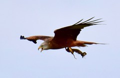 Red Kite - Taken at Ryson's Lake, Titchmarsh Nature Reserve, Aldwincle, Northants. UK (Ian J Hicks) Tags: