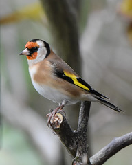 Goldfinch in my garden (David Verrall) Tags: goldfinch gardenbird wildlife gardenwildlife