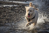 Alfie on the Beach (Nick Landells) Tags: labradoodle dog play playing running water beach splash splashing pup puppy