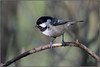 Coal Tit (image 1 of 2) (Full Moon Images) Tags: rspb sandy lodge thelodge wildlife nature reserve bedfordshire bird coal tit