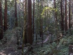 Redwood Creek Trail Muir Woods b10825n (Al Greening) Tags: ggnra muirwoods marin redwood sequoia