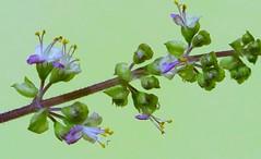 Holy Basil Flowers (காவியம் Kaaviyam Photography) Tags: kaaviyamphotography kaaviyamart holybasilflowers macro mobileshot thulasi krishnathulasi tulsi