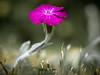 Wet magenta #1 (Dan Österberg) Tags: flower macro waterdrops rain wet pink magenta simple nature closeup grass living growing solo alone