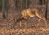Trailing a doe (Lindell Dillon) Tags: buck deer whitetail wildlife nature oklahoma crosstimbers wildoklahoma