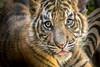 Sweet Cubbie (helenehoffman) Tags: cub tiger felidae sandiegozoosafaripark bigcat mammal animal sumatrantiger carnivore sumatra pantheratigrissumatrae conservationstatusendangered cat specanim coth coth5