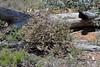 Thomasia montana (jeans_Photos) Tags: westernaustralia beverley stateforest wandoonationalpark rigollroad t vouchered geo:country=australia geo:state=westernaustraliatober taxonomy:binomial=thomasiamontana