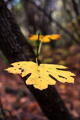 3 dimensional (Middle aged Nikonite) Tags: symmetry nikon d750 leaves trees autumn color bokeh close up macro outdoor nature peaceful serene wood forest macrodreams