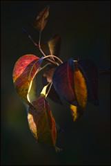 Geen appel maar blad van een peer (maartenappel) Tags: canon kleuren